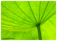 Water Lily Leaf