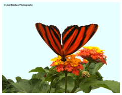 South American Butterfly
